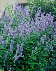 This popular agastache is a cross between Agastache rugosa and Agastache foeniculum, which resulted in a landscape friendly plant with bold bloom power. The deep violet tubular blooms on bottle brush