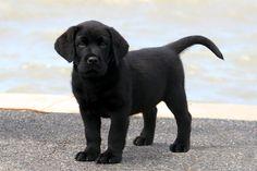 Black Labrador Retriever Photos | Banjo - 7 weeks, first day at the beach.