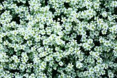 Plants like 'Snow in summer' (Cerastium tomentosum) that completely blanket areas are the most economical and are great for erosion control. But some can invade a nearby lawn or perennial beds unless stopped by a switch in conditions—shade to sun, for example—or a physical barrier. | Photo: Nakano Masahiro/amanaimagesRF/Getty | thisoldhouse.com