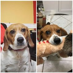 I always see these before/after adoption posts everywhere so heres mine. My 4-year-old rescue beagle adopted just 2 weeks ago Holly  http://ift.tt/2CP0zE8