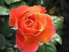 lady norwood garden – #Новая_Зеландия #Веллингтон (#NZ_WGN) На улицах и в садах наших городов розы зацветут только через несколько месяцев, а на другом конце Земли их красотой можно наслаждаться практически круглый год. Представляю вашему вниманию Сад роз Леди Норвуд, являющийся частью большого Ботанического сада в новозеландском Веллингтоне. #достопримечательности #путешествия #туризм http://ru.esosedi.org/NZ/WGN/1000045619/lady_norwood_garden/