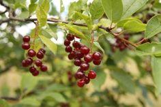choke cherry berries
