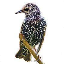 spreeuw / ferryb (Vogelweb) Als u in de schemering een grote wolk vogels ziet, zijn dat vaak spreeuwen die zich opmaken voor de nacht. Individueel vallen de vogels niet zo op: ze zijn donker gekleurd, iets kleiner dan een merel, en ze hebben een witgespikkelde borst. De spreeuw zoekt zijn eten op gazons, akkers en weilanden. Hij broedt het liefst in een holte in een boom, in kieren of spleten van gebouwen, of in een nestkast.
