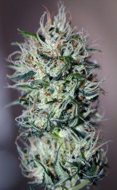 #The best seeds http://www.spliffseeds.nl/silver-line/blue-berry-seeds.html