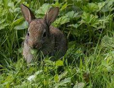 Alimentación conejos, conoce más a fondo la alimentación de los conejos, pues no son roedores, hecho que presta muchas veces confusión entre personas que pretende tener este mamífero como mascota.