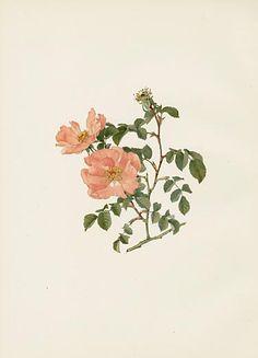 Ellen Willmott Rose Prints 1914 from The Genus Rosa