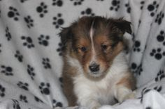 Sheltie Puppies For Sale, Sheep Dogs, Corgi, Creatures, Pets, Animals, Cattle Dogs, Corgis, Animales