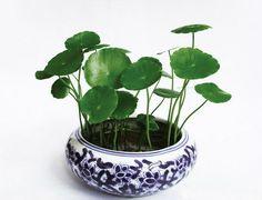 Gotu kola Seeds Centella Asiatica Medicinal Herb 20 by Hydroponic Farming, Hydroponic Growing, Hydroponic Gardening, Herb Gardening, Bonsai Garden, Garden Plants, House Plants, Bonsai Trees, Plantas Bonsai