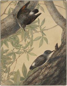 Australien. [i.e. Australian] Nuthatch., 1808
