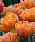 "Double Late Tulip or Peony-Tulip as it looks like a cross-breed!  Full volume tulip! ""Tulip Orange Princess"""