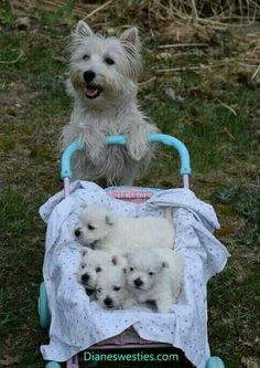 Im just taking my Babies to the Park to see the Ducks – Mother West Highland Terrier Dog with her Baby Puppies in a pram - dog - [post_tags Westie Puppies, Baby Puppies, Westies, Cute Puppies, Cute Dogs, Dogs And Puppies, Doggies, West Highland Terrier, Baby Animals