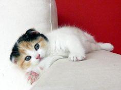 ショートヘアーのスコティッシュフォールド : マーサスミスの仔猫たち