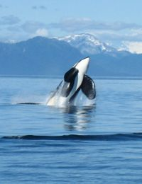 Follow a pod of killer whales from Northern CA to Canada. ~ Need to do this!!