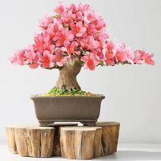 Search from 60 top Bonsai Tree pictures and royalty-free images from iStock. Find high-quality stock photos that you won't find anywhere else. Bonsai Plants, Bonsai Garden, Bonsai Trees, Bonsai Azalea, Hosta Flower, La Germination, La Reproduction, Plantas Bonsai, Candle Supplies