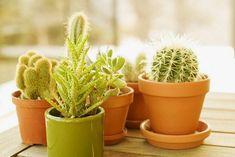 Aloe vera cserépben – E csodálatos, hasznos növény otthon, házi körülmények között is nevelhető. Gondozása, öntözése, teleltetése. Információk, tudnivalók. Real Estate Flyer Template, Real Estate Flyers, Green Cactus, Clay Pots, Free Stock Photos, Aloe Vera, The Creator, Planter Pots, Tropical