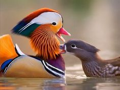 """What beautiful colors!! It's like a painter painted on him. Gorgeous:) Well, I've learned without much difficulty in research, this species is the """"Mandarin Duck."""" The Mandarin duck is a medium-size perching duck, closely related to the North American wood duck. Referred to by the Chinese as Yuan-yang, they are frequently featured in Oriental art and are regarded as a symbol of conjugal affection and fidelity."""