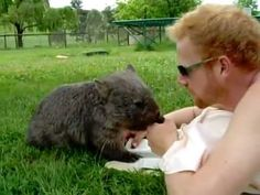Douglas The Wombat Really Loves Belly Rubs And It Is Adorable Cute Wombat, Baby Wombat, Tasmania, Baby Animals, Funny Animals, Keep Company, Super Cute Animals, Adorable Animals, Quokka