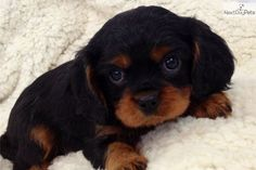 Cavalier King Charles Spaniel Puppy for Sale: Ollie - 7d4f56d5-aee1
