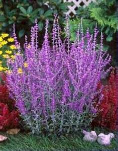 Purple Russian Sage