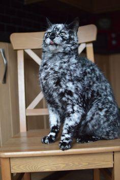 Scrappy Born a Gato Negro Ahora se ponen blancos debido a Vitiligo - Amor del maullido