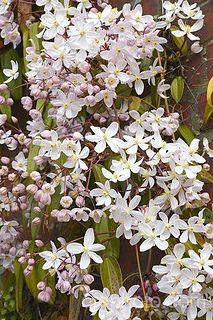 Clematis armandii 'Apple Blossom'..This is a Fall bloomer that will spread more than you want it to. Seeds blow and grow!!!