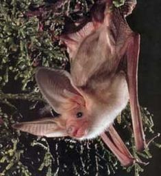 Pallid Bat (Antrozous pallidus)      This is a nocturnal species that spends its days in caves, rocks, trees, and even houses.   The Pallid Bat is an insectivore, meaning it feeds only on insects.   This bat's large ears help it to have an amazing sense of hearing.
