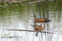 Birding with Wilderness Safaris - Pygmy goose