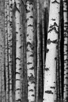 Björkar by Anders Nygren. Black and white photograph of birch trees. Available as poster and laminated picture at Printler, the marketplace for photo art.