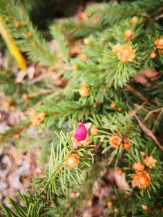 Picea Abies, Strawberry, Fruit, Strawberry Fruit, Strawberries, Strawberry Plant