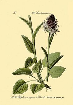 1895 German botanical chromolithograph: Blue-Black Rapunzel