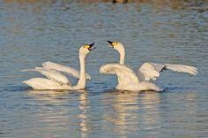Kleine zwanen terug in het Nationaal Park Lauwersmeer vlakbij Camping Lauwersoog