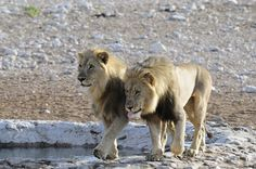 Males near water hole- Namibia 1