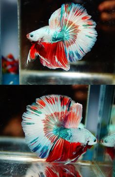 Siamese Fighting Fish - Multi-Color Half-Moon male Betta Splendens