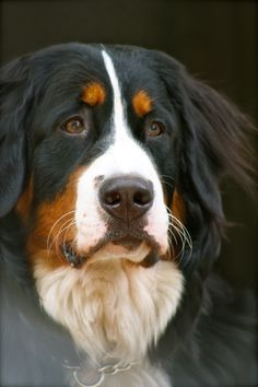 Bernese Mountain Dog art portraits, photographs, information and just plain fun. Also see how artist Kline draws his dog art from only words at drawDOGS.com #drawDOGS