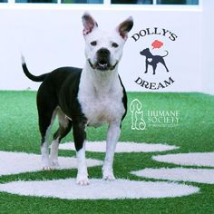 Im Harmony (ID 578433) and Im hoping you can give me a forever home.  Adopt me and my adoption fee is sponsored thanks to Dollys Dream.  This program helps bully breed dogs like me.  I come with a crate collar and leash ID tag chew toys walking harness & more - all to get me settled in my new home.   So you know a little about me I was adopted from another shelter and thought I found my forever home but sadly my owner was terribly allergic to me and had to give me up.  She brought me to the…