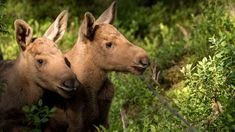 Puppies, Moose, Animals, Cubs, Animales, Animaux, Mousse, Animal, Animais
