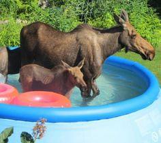 Moose & calf in the pool ~ღ~