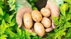 [ Hands Presenting Organic Fresh Potatoes Wearing Gardening Gloves How To Store Potatoes, Fresh Potato, Burlap Sacks, Glycemic Index, Weed Killer, Gardening Gloves, Korn, Lawn Care, Sustainable Living