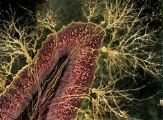 "The Brain's Artistry: A Conversation with Neuroscientist and Artist Greg Dunn ... (image) ""Cerebellar Lobe"" by Greg Dunn - Everyone knows that nature is beautiful. So much of nature's beauty, however, is too small to see without a microscope. Greg Dunn, an artist with a neuroscience doctorate from University of Pennsylvania, has managed to make the microscopic splendor of the brain accessible to anyone, not just scientists, through his paintings."