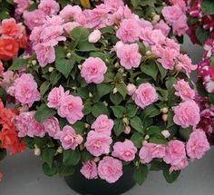 Impatiens walleriana dobrada. As flores variam desde o branco até os vermelhos mais intensos, passando por variadas nuances de cor de rosa, incluindo as raiadas. De flores simples ou dobradas, folhagens mais ou menos densas, elas são sempre uma verdadeira festa para os olhos, e um desafio à criatividade do jardineiro ou jardineira.