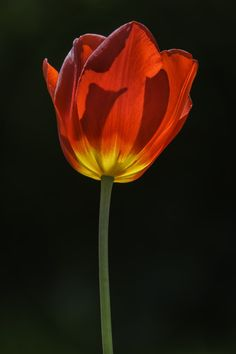 The Flame Within - Red Tulip