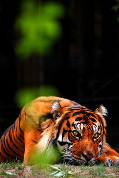 Tiger by VancityAllie on Flickr.