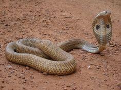 17 Species of Elapids - Amazing Snakes