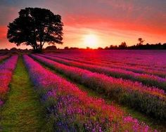 OMG I love this shot of a lavender field in Provence at sunset....gorgeous!
