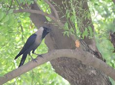 House crow at the Fatehpur Sikri, India India Landscape, G Adventures, National Geographic, Crow, Photo And Video, House, Home, Haus, Raven