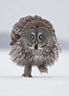 Great Grey Owl -byRick Dobson♦ A large, reclusive predator. Plunge marks in the snow are usually the only evidence for its presence. Distinctive extra-large facial disks direct sound to feather covered ear openings, providing super-sensitive hearing. This enables the great grey owl to accurately locate prey, even under two feet of snow or in a tunnel. With soft feathers, it can glide unheard from its perch to dispatch an unfortunate rodent with its sharp talons. (Look at those feet!)