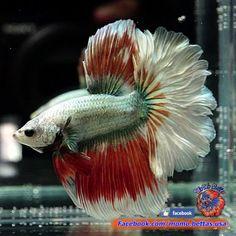Live Betta Fish Male Green Copper Red Beautiful Rosetail Halfmoon 84 Beta FishFreshwater