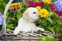 Mind Blowing Facts About Labrador Retrievers And Ideas. Amazing Facts About Labrador Retrievers And Ideas. Golden Labrador, Black Labrador Retriever, Labrador Retrievers, Retriever Puppies, Homeless Dogs, Most Popular Dog Breeds, Lab Puppies, Pitbull Terrier, Dog Life
