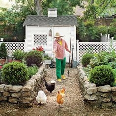Raised beds with boxwoods, chickens in the yard