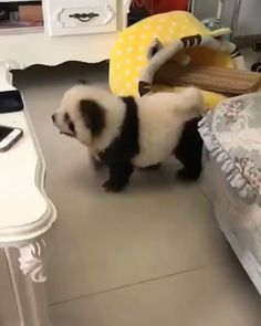 Visit: Emotional Moment Sad Mom Runs Over To Kiss Her Puppy As The Pup Gets Adopted cutest animals Don't know if it's a panda 🐼 or a dog 🐕😍😍 Super Cute Animals, Cute Funny Animals, Cute Baby Animals, Animals And Pets, Baby Pandas, Cutest Animals, Wild Animals, Funny Animal Memes, Funny Dogs